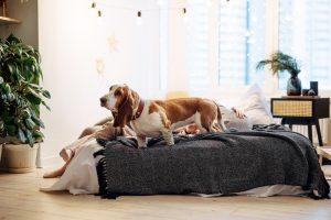 Best Dog Beds for Basset Hound