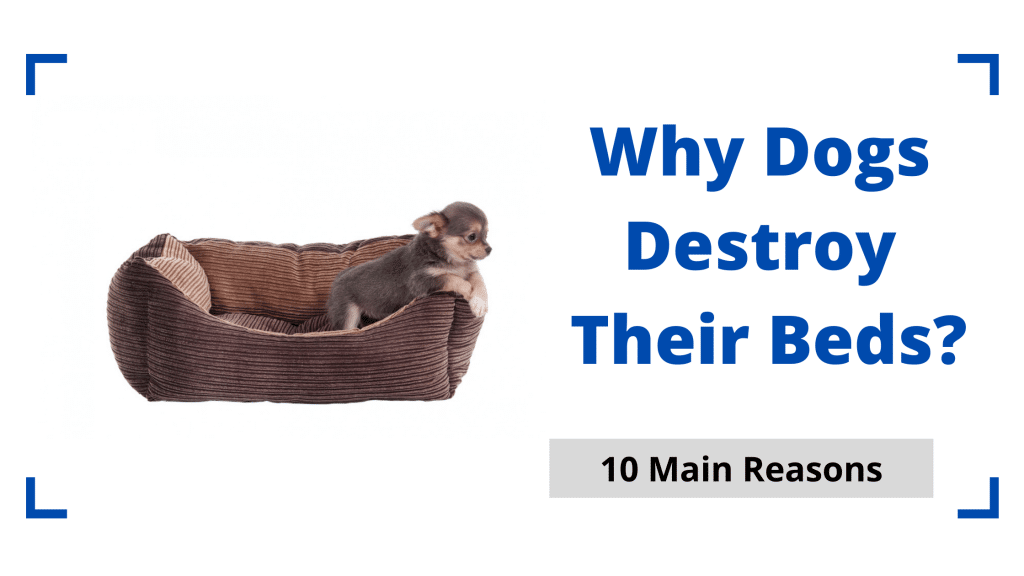 Why Dogs Destroy Their Beds